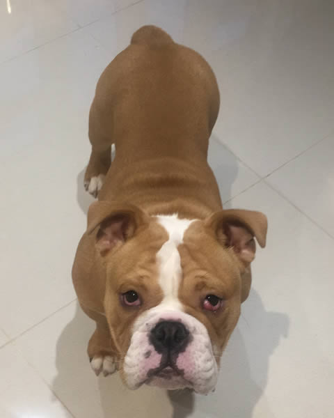 Teddy The English Bulldog,